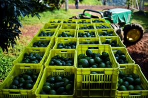 Fears grow as we anticipate the consequences of the US.-Mexico border close on our supply of avocados