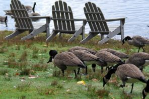 "Wellesley College geese stage protest to ""take back their campus"""